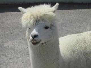 The 80s alpaca.
