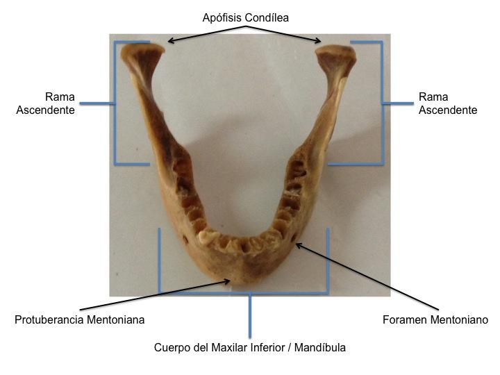 FCM-UNAH Anatomía Macroscópica: Accidentes Óseos del Maxilar ...