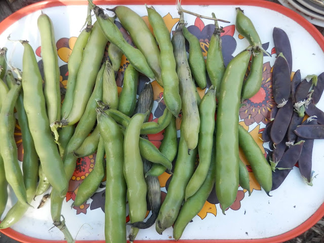 My homegrown harvest, July 2018. From UK garden blogger secondhandsusie.blogspot.com #homegrown #harvest #suburbanpermaculture #gardenharvest