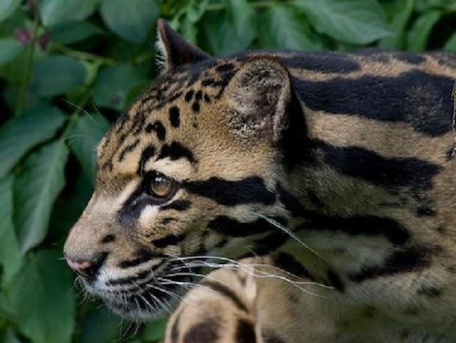 Sunda clouded leopard under threat from habitat fragmentation