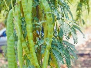 A algaroba pode ser uma alternativa para o semi-arido