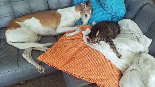 image of Dudley the Greyhound stretched out on the sofa, with Sophie the Torbie Cat curled up next to him on a pillow