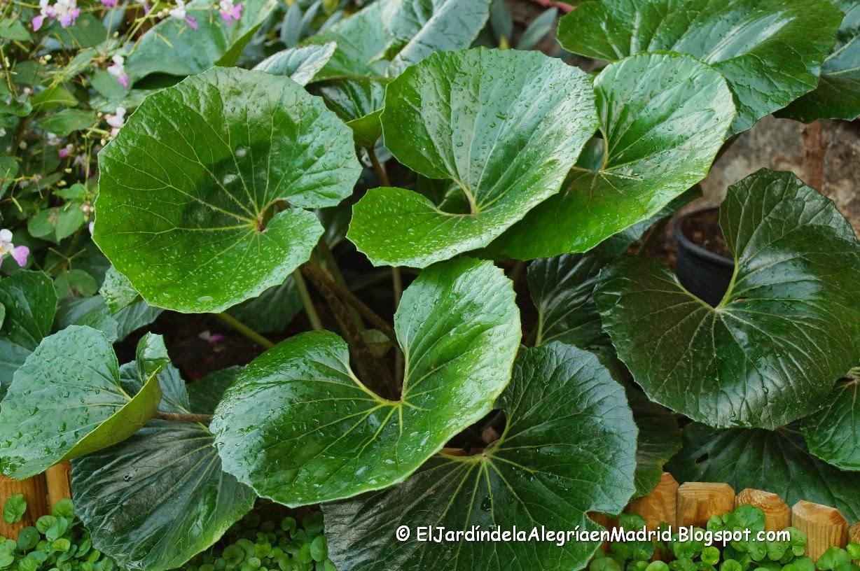 El jard n de la alegr a la exuberancia farfugium - Planta de exterior resistente ...