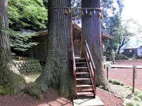 日枝神社・子宝の杉