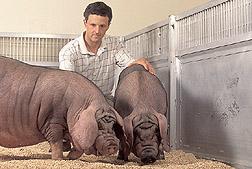 Heritage Pig Breed; Meishan