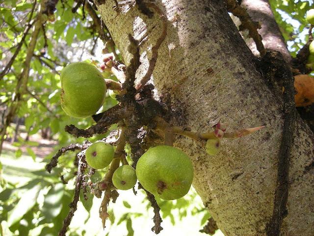 Cây Sung - Ficus glomerata - Nguyên liệu làm thuốc Chữa Tê Thấp và Đau Nhức