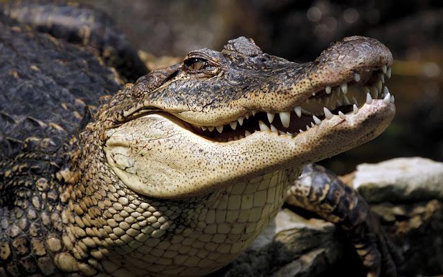 تفسير رؤيه التمساح في الحلم بالتفصيل