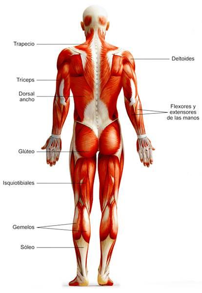 Sistema muscular esquelético humano vista posterior
