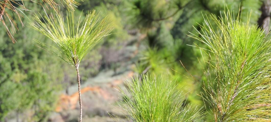 ramas del pino en la juventud del árbol