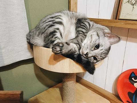 小さなベッドに体を丸めて無理やり収まっているサバトラ猫