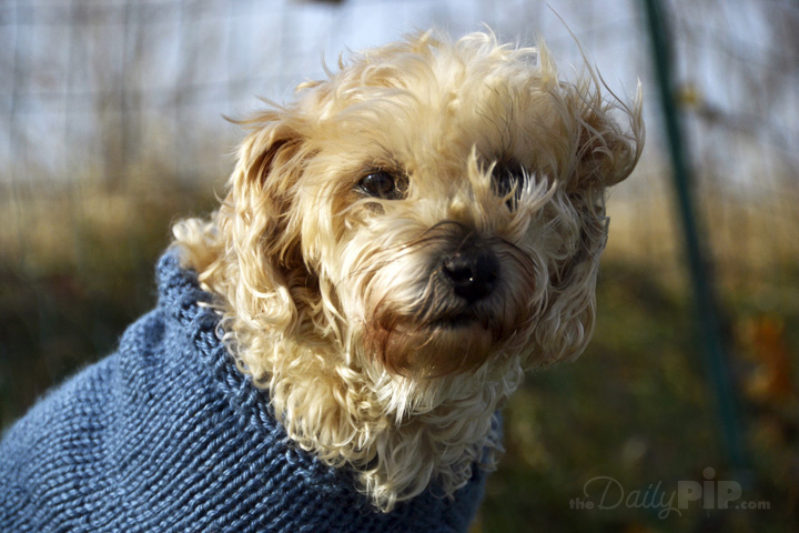 Ruby the rescued Yorkie-Poo of The Daily Pip likes sweaters