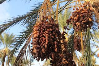 Algerische Datteln - Golden Seed