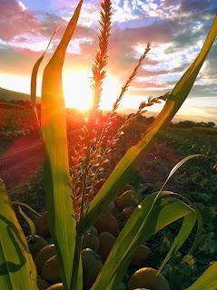 daun jagung