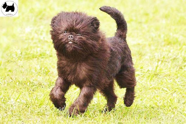 Cutest Dog Breeds, Best Dog, Affenpinscher Dog