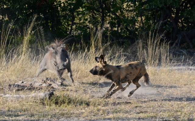 wrattenvarken, wilde hond, wild dog, safari, gevecht, Botswana, wildpark, bush, zuidelijk Afrika, Afrika, Africa, nature, natuur, wildlife, African wildlife,