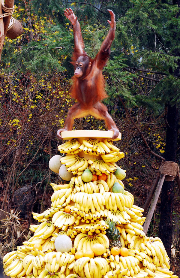 An Orangutan Triumphs over a pile of bananas the way NTCC leaders relish in tithe, offerings, and material goods in a shameless display of materialism and coveteousness.  MYNTCC eXperience. My NTCC. NTCC of America, Inc. New Testament Christian Churches of America, INC.