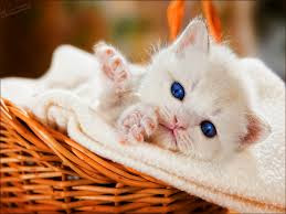 New Baby Cats Animal Hd Wallpape36