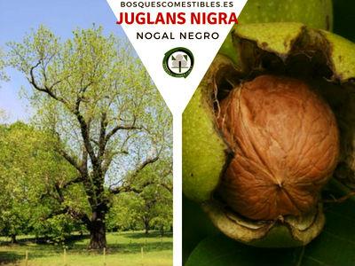 El Nogal Americano, Junglans nigra, es un árbol que puede llegar hasta 50 m de alto