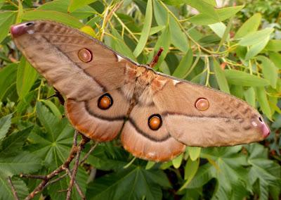 Opodiphthera eucalypti female