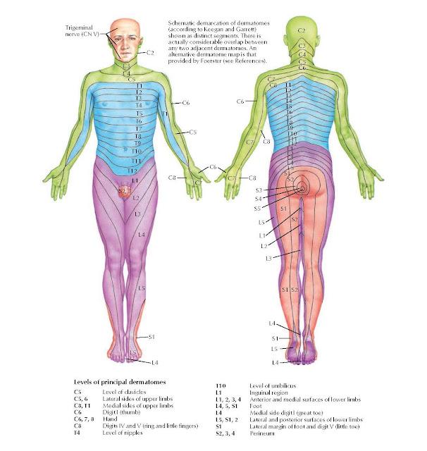 Dermatomes Anatomy