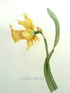 dancing daffodils watercolour botanical art