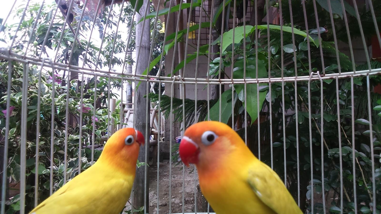 cara alami melatih lovebird ngekek panjang   daffa shaddiq