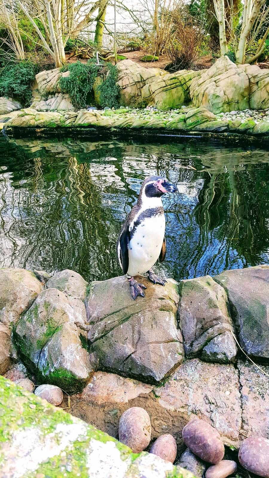 Humboldt Penguins At Twycross Zoo