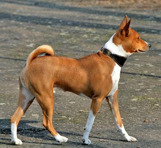 Basenji-dogs-pets-dog breeds