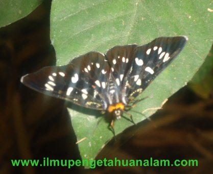Kupu-kupu sayap warna hitam dan putih