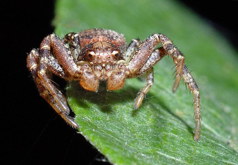 Arachnids: Ozyptila praticola - front (aka)