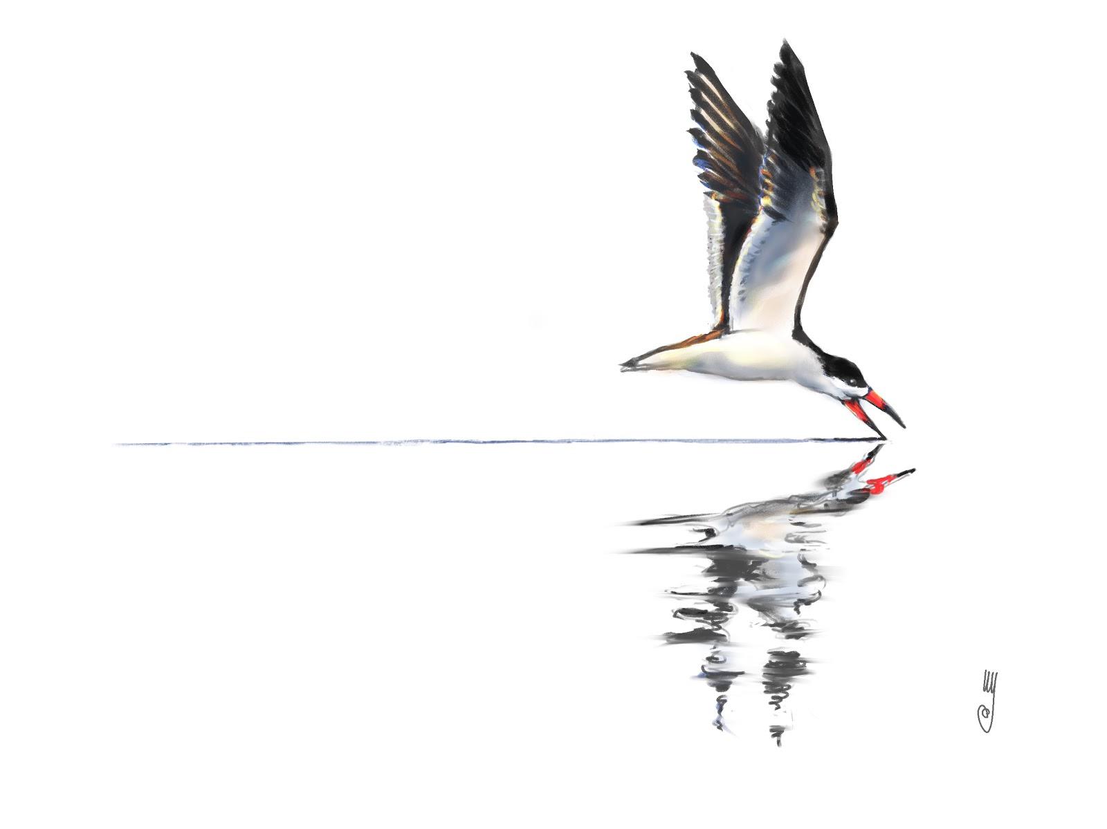 Birds: Black Skimmer