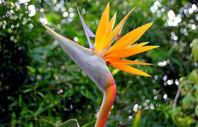 Parrot's Beak Lotus berthelotii | Garden Bible