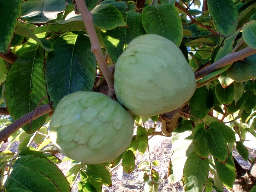 MY KITCHEN IN SPAIN: CHERIMOYA--AN EXOTIC FRUIT FOR THE ...
