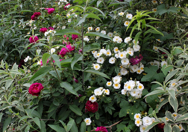Rosa Rambling Rector and the Bourbon rose Zigeuner Knabe