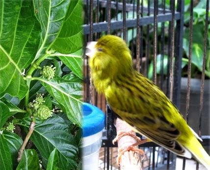 Khasiat Daun Mengkudu Buat Burung Kenari Satu Lagi Kenari Gacor Berkat Diberi Daun Mengkudu Hobi Si Petani