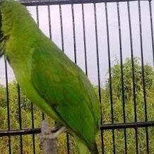 Cara Membuat Ramuan Untuk Burung Cucak Ijo Tampil Maksimal