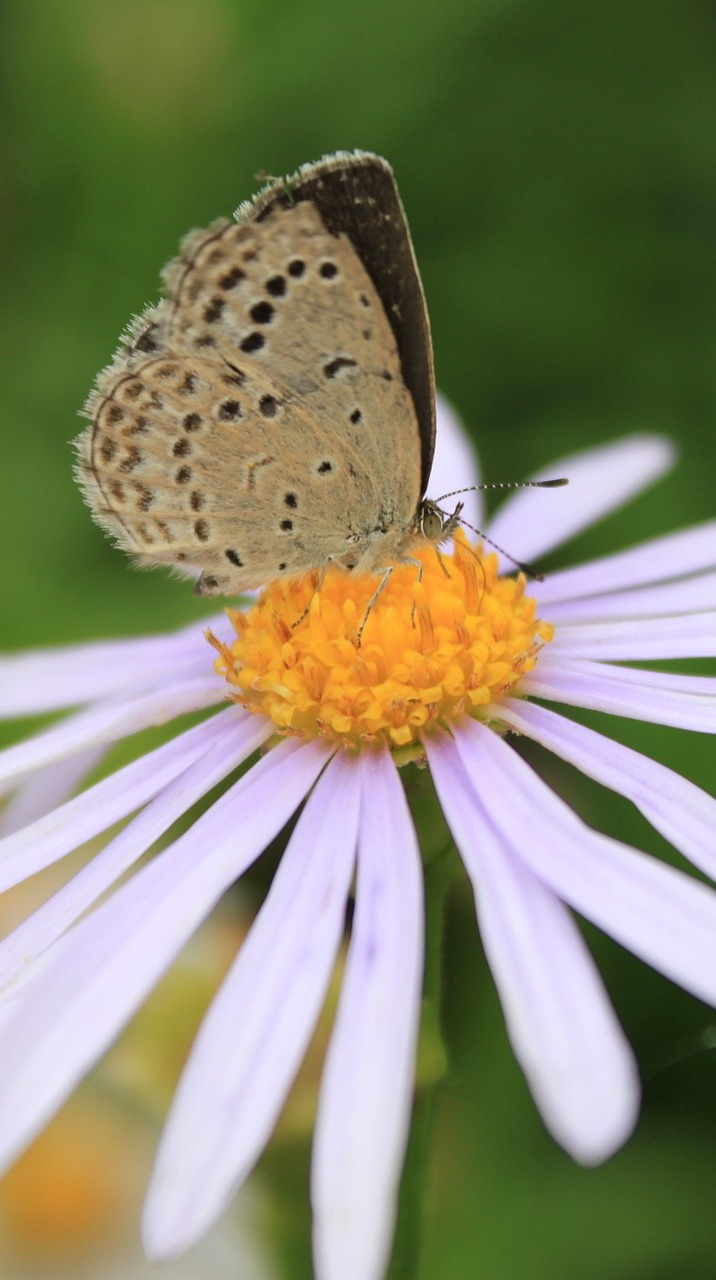 A beautiful brown butterfly on a daisy flower.