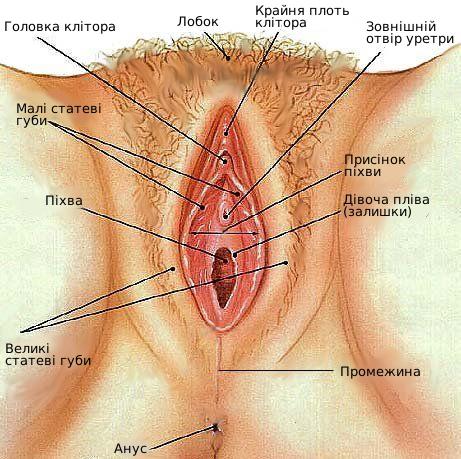 Жіночі статеві органи