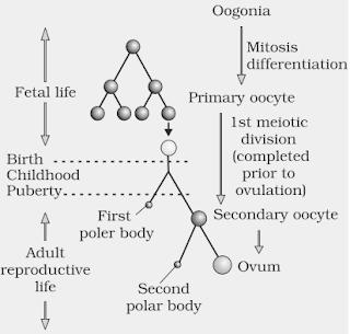 Oogenesis process