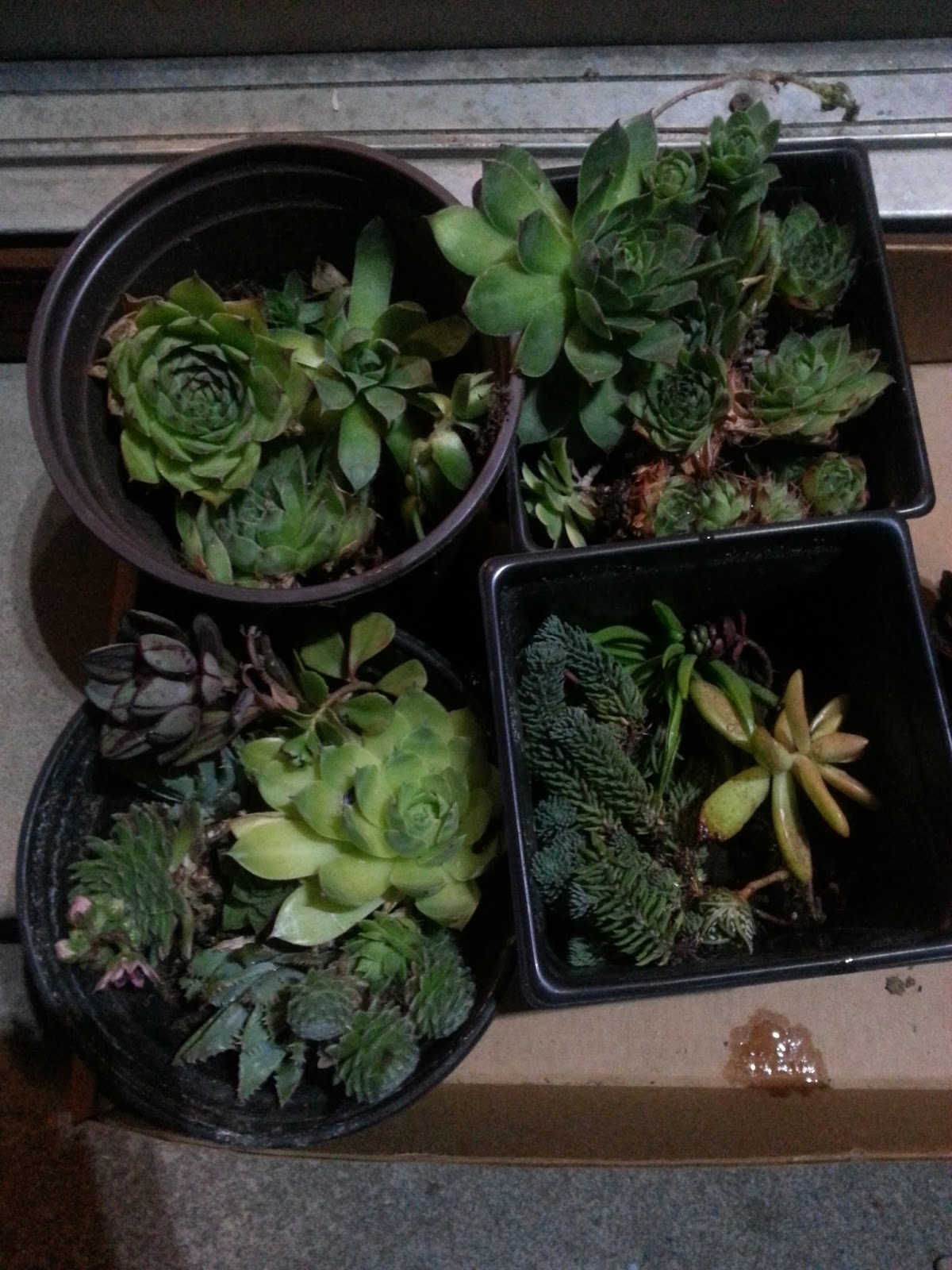 echeveria rosea, aloe, sempervivum, sedum, succulents, oregon