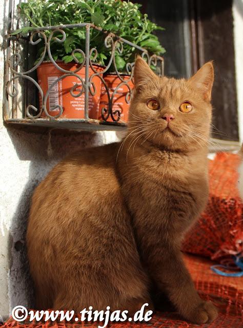 Britisch Kurzhaar Katze in cinnamon aus der Tinjas Katzenzucht