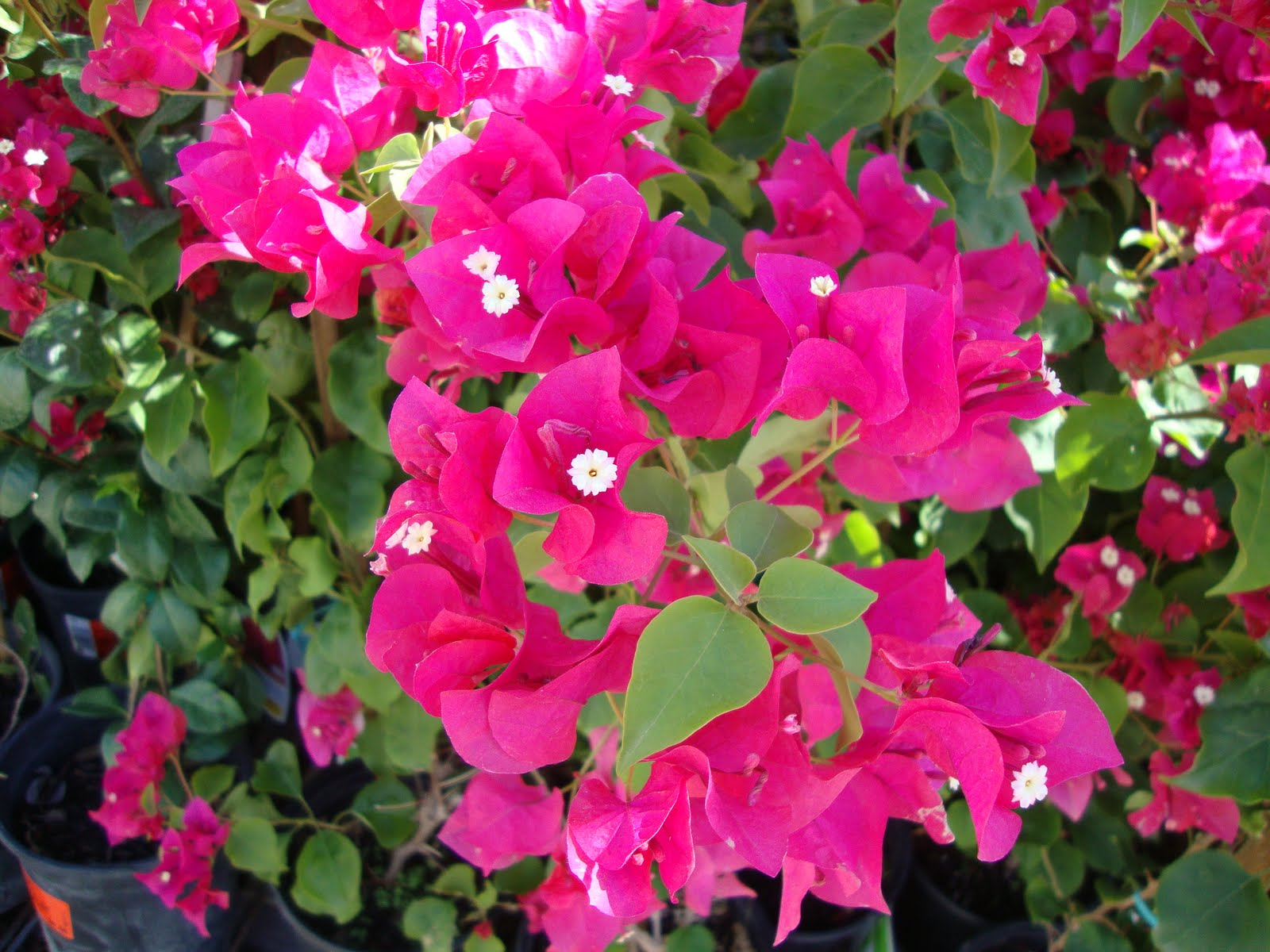 Bougainvillea Wallpaper Bougainvillea Wallpaper Flower Dreams
