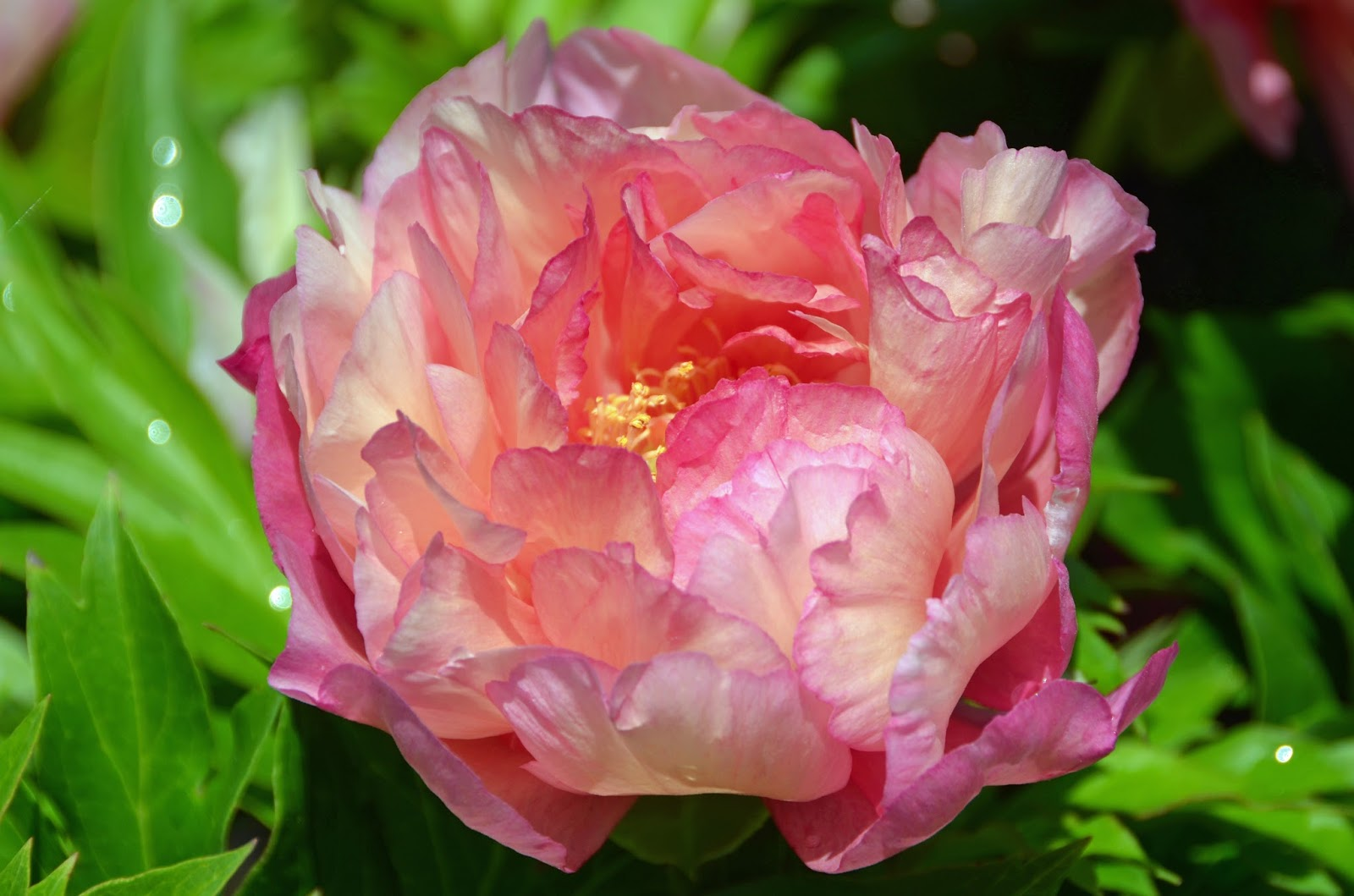 Peony Julia Rose: description, photo, reviews