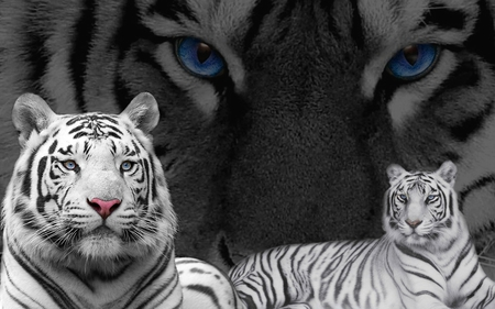 white+tigers+with+blue+eyes+(7)