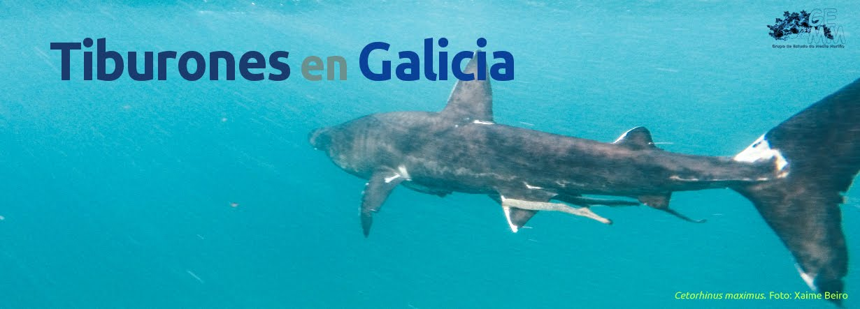 Tiburones en Galicia: Problemas taxonómicos de mielgas y galludos ...