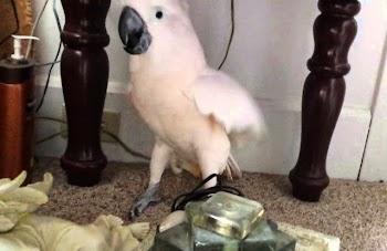 ΑΠΙΣΤΕΥΤΟ! Πως αντέδρασε αυτό το είδος παπαγάλου όταν του είπαν ότι θα πάει στον κτηνίατρο... [video]