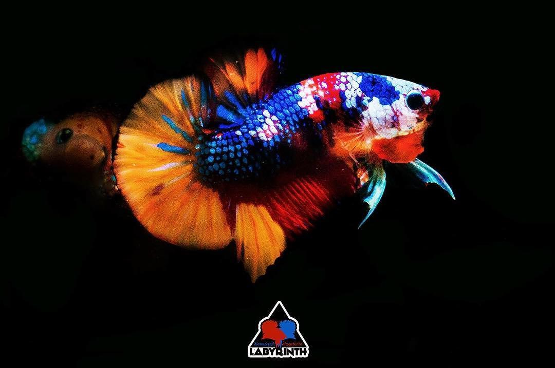 Inikah Ikan Cupang Paling Mahal Di Dunia Pecinta Ikan Cupang