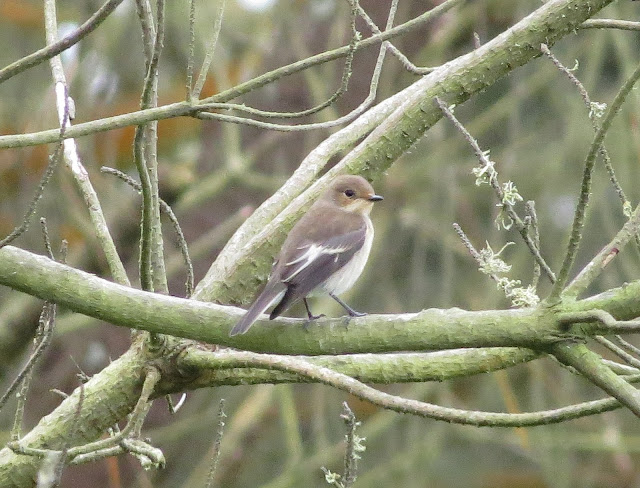 Pied Flycatcher - St Marys, Scilly