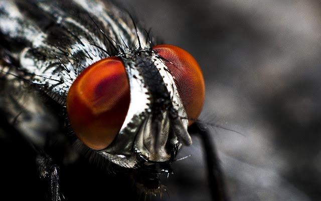 10 perkara tentang lalat yang tentu anda tak terfikir selama ini