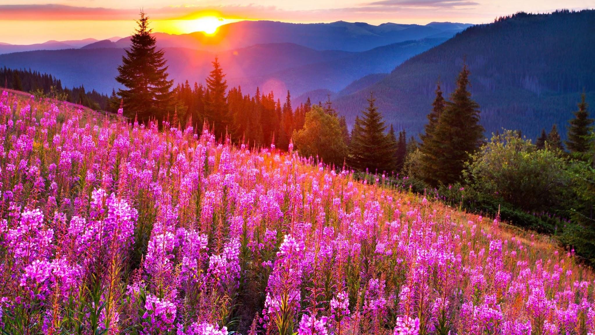 花畑の壁紙夕日に照らされる斜面